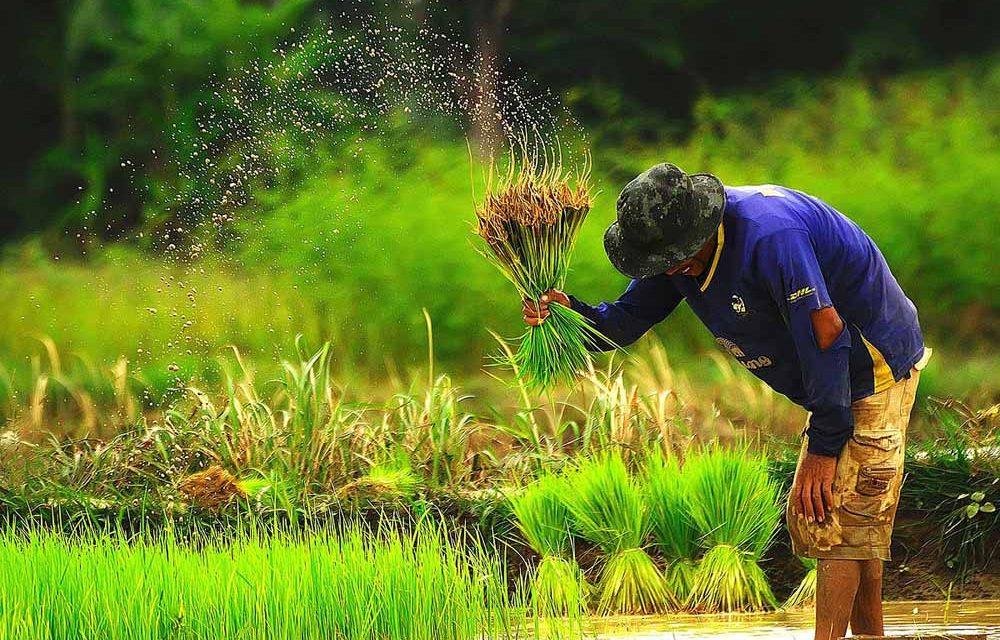 ซื้อข้าวจากชาวนา ได้ข้าวดี ไม่ง้อโรงสี ไม่ผ่านพ่อค้าคนกลาง ส่งเสริมเกษตรยั่งยืน